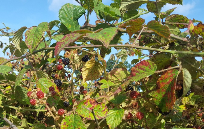 photo of a blackberry bush with black and red blackberries to show how to prepare wild blackberries for eating, cooking and freezing